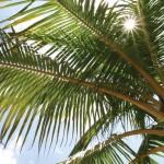 Evergreen Palm Tree